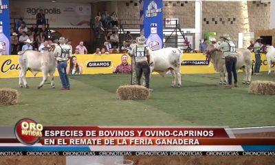 Equinos, bovinos y caprinos en la Feria Ganadera de Cenfer