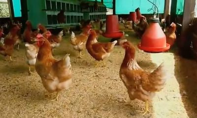 Venezolanos detenidos por robar gallinas.