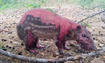 Los animales de la fauna llanera son las víctimas silenciosas de los incendios forestales que han golpeado fuertemente la región de la Orinoquia y Casanare